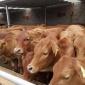 改良小黄牛-牛犊-牛苗-黄牛批发-利木赞牛犊养殖技术